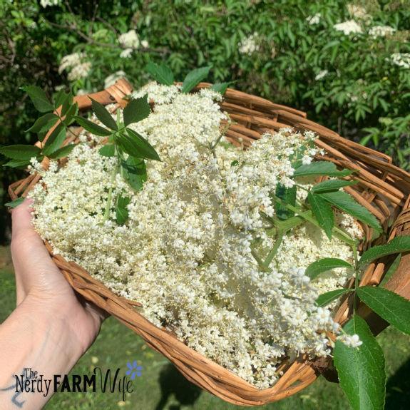hand holding a basket of elder flowers