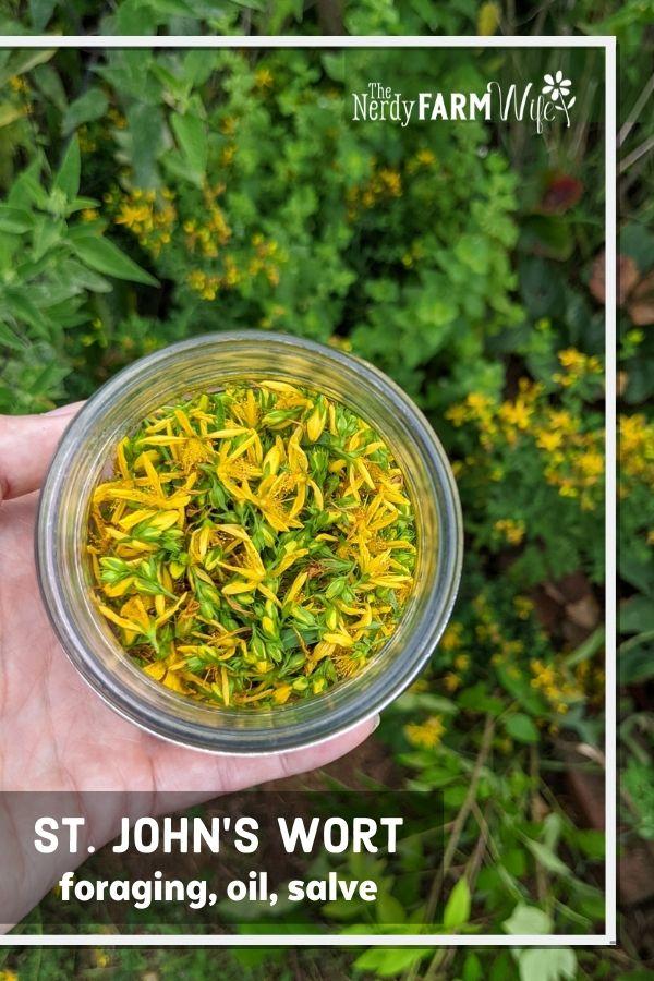 hand holding a jar of freshly gathered St. John's Wort flowers