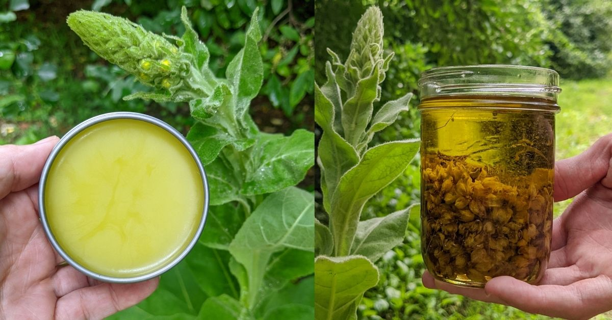 hands holding tin of salve and jar of infused oil in front of mullein plants