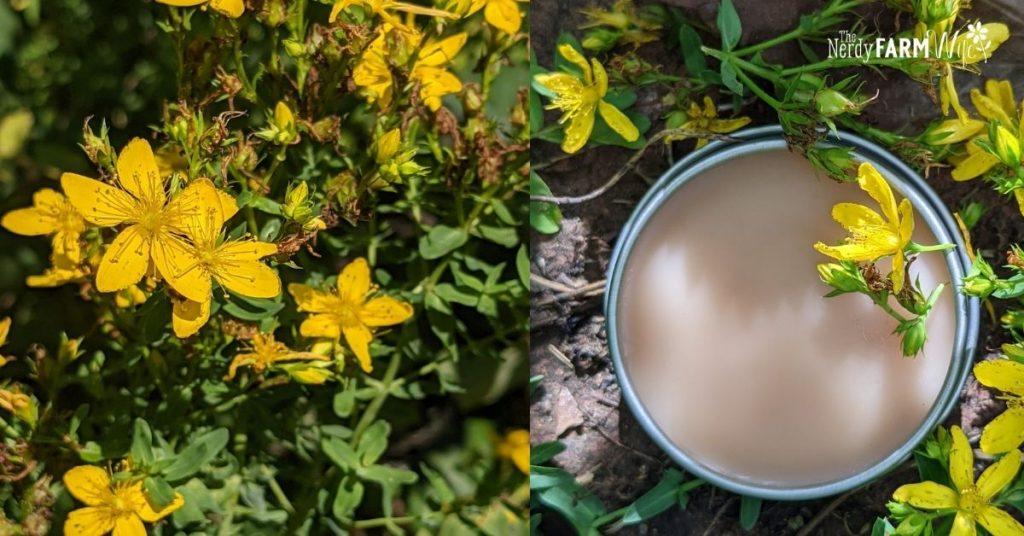fresh St. John's Wort flowers and tin of salve