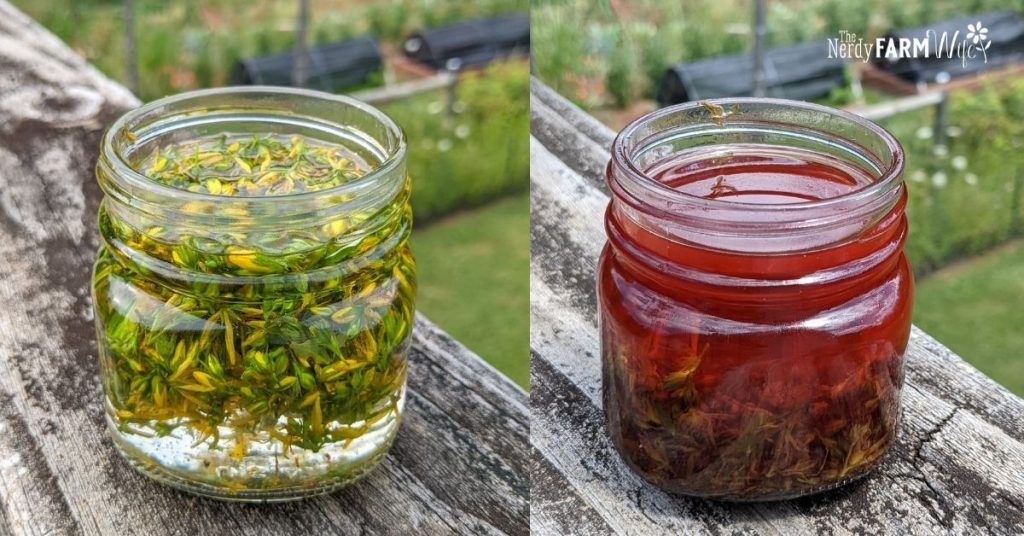 St John's Wort Oil on left is freshly made; oil on right is older and has turned red