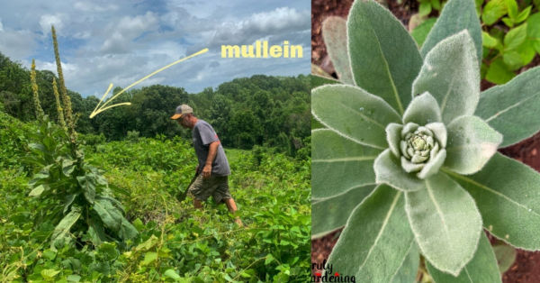 large mullein plant and mullein rosette of leaves