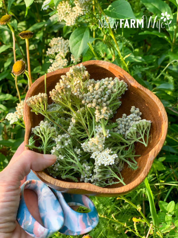 wooden bowl filled with fresh yarrow flowers