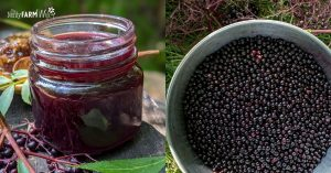 jar of elderberry syrup and bucket of fresh elderberries