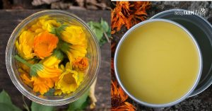 fresh calendula flowers and tin of calendula salve