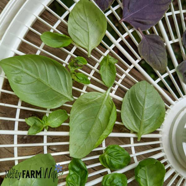 fresh basil leaves on a dehydrator tray